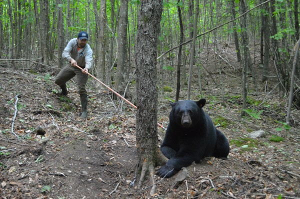 John Wood prepares to inject a sedative into &quotBig John,&quot a 432-pound black bear, while working with the Maine Department of Inland Fisheries and Wildlife.