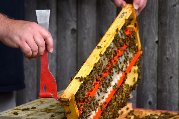 Phil Gaven, owner of the Honey Exchange and beekeeper, opens the top to one his hives to extract the queen bee for sale.