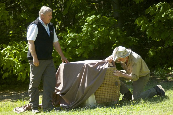 From left, Brad Allen of Maine DIF&W and Marc Payne of Avian Haven prepare to release a mother eagle in Brewer that was found on a sidewalk in Bangor and rescued last month. The eagle was rehabilitated at Avian Haven in Freedom where its eaglets still remain.