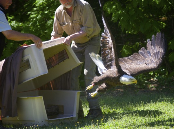 From left, Brad Allen of Maine DIF&W and Marc Payne of Avian Haven, a nonprofit bird rehabilitation center, release a mother eagle in Brewer that was rescued from a sidewalk in Bangor last month. The eagle was rehabilitated at Avian Haven for an unknown toxin that is believed to have inhibited the bird and its partner. The mother's eaglets are still being rehabilitated at Avian Haven in Freedom.