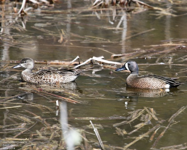 Blue-winged teal.