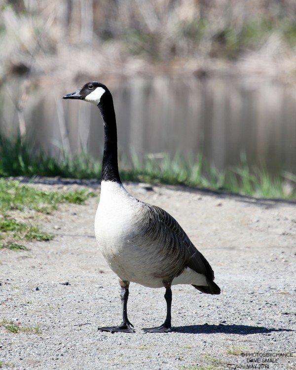 Canada goose on the move.