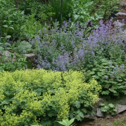 Native Milkweed and Bellflower Sustain the Garden's Bumblebees