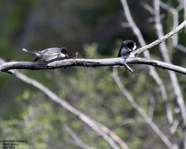 Eastern kingbirds.