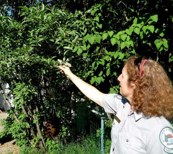 Maine Forest Service district forester Patty Cormier holds up the leaves of this invasive autumn olive plant on Friday in her Farmington backyard, revealing the distinctive silver color of their undersides.