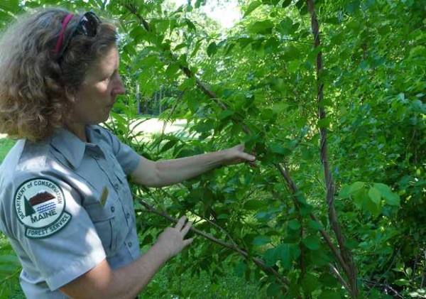 Maine Forest Service district forester Patty Cormier of Farmington shows how Asiatic bittersweet, an invasive plant vine, is strangling a young sumac tree in her backyard on Friday afternoon by coiling its vines around the trunk.