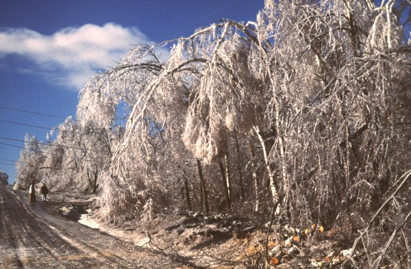 1998: Trees in Lincolnville bow under the weight of ice during the Ice Storm of '98