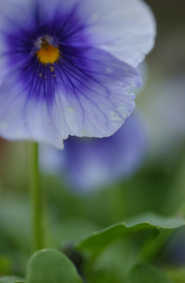 The petals of pansies, such as these, and other flowers, are edible and can be used to garnish food.