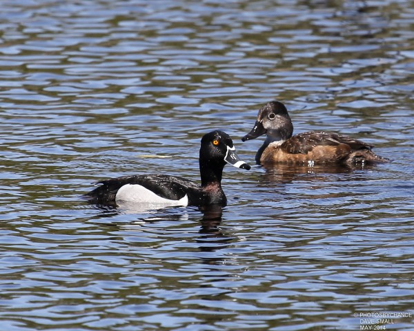 Ring-necked ducks.