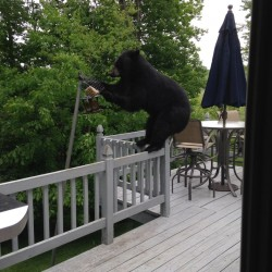 Bear steals bird feeder in New Hampshire
