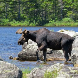Sandy Stream moose