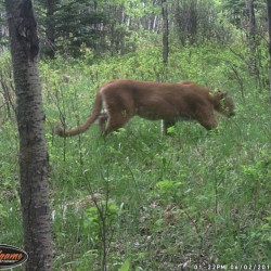 Mountain lion sighting claimed in Maine