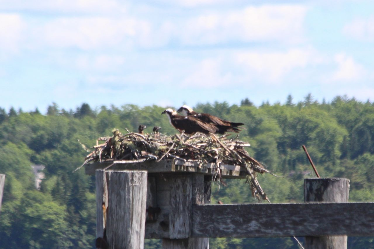 Nesting ospreys provide glimpse of family life