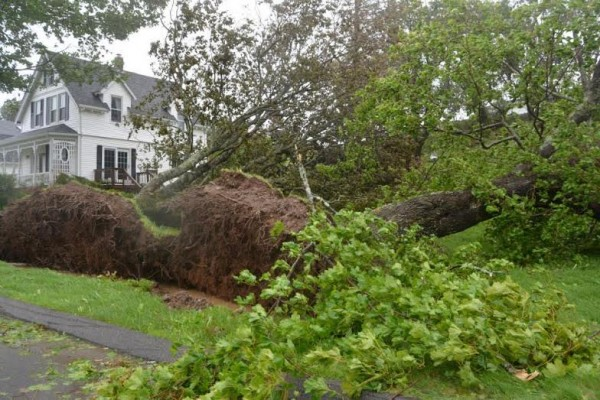 Trees toppled by high winds in Lubec illustrate the damage inflicted by the remnants of Hurricane Arthur over the weekend.