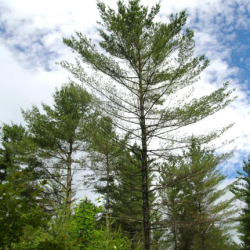 Maine Forest Service on lookout for big trees