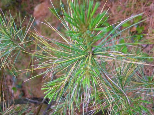 Disease afflicting white pine trees is evident on this young tree, which shows needles that are turning brown. Fungi cause the needles to change color and fall off.