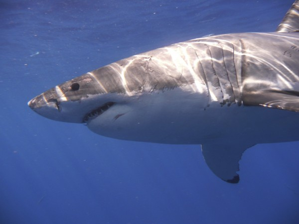 A great white shark is pictured in the Eastern North Pacific in this undated handout photograph courtesy of Kevin Weng, University of Hawaii.