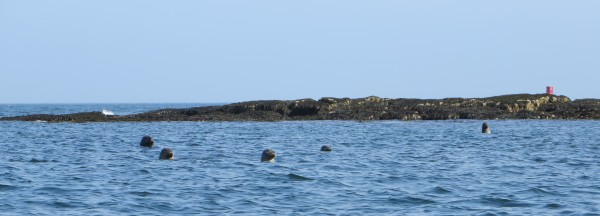 Harbor seals near Mount Desert Island