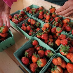 The sweet science of the Maine strawberry
