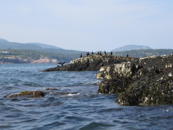 Harbor seals near Mount Desert Island