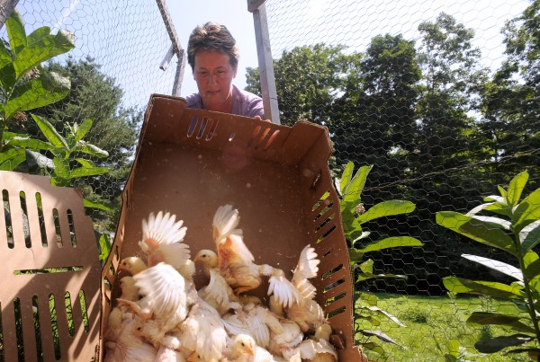 Rose Rapp, the owner of Farmetta Farm in Morrill, takes Cornish cross chicks from the brooder to an outside chicken tractor Tuesday.