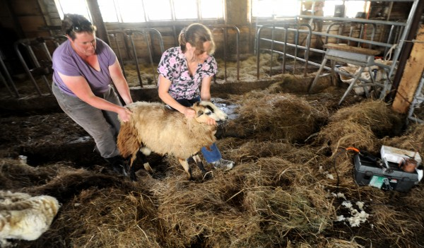 Edie Kershner (right), a sheep shearer from Stockton Springs, and Rose Rapp, the owner of Farmetta Farm in Morrill, catch a sheep to be shorn Tuesday.