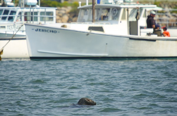 A seal made an appearance at the finish line during the 2014 lobster boat races on Sunday in Stonington.
