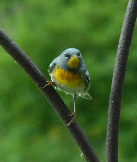 A northern parula warbler sizes up the bay window before launching an attack.