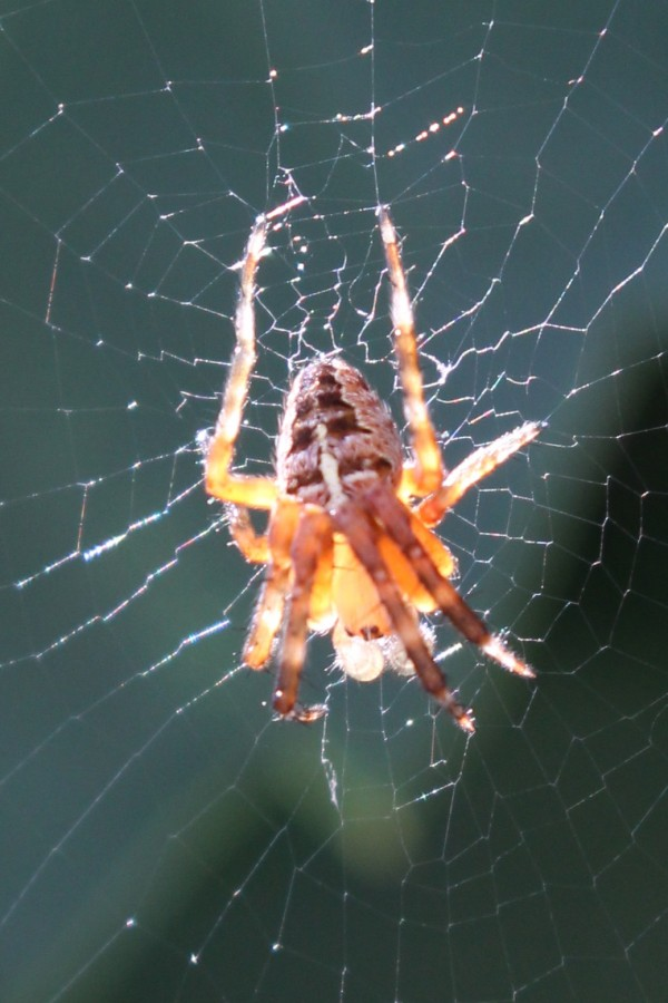 An orb-weaver spider clings to the center of its web on a fence in Brewer in July 2014.