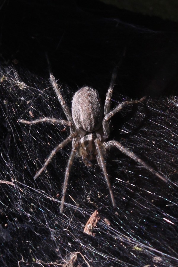 A grass spider waits on its web by a flower garden in Brewer in July 2014.