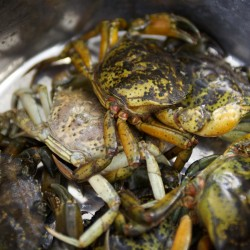 As green crab invasion takes toll on Maine clams, researchers worry that lobsters are next victim