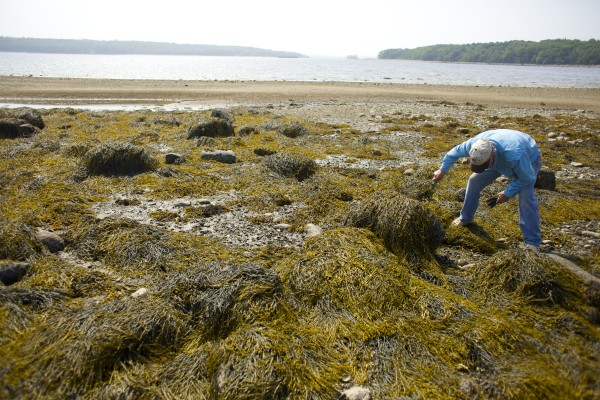 Bob Ramsdell lifts up seaweed to show a green crab while looking for clams.
