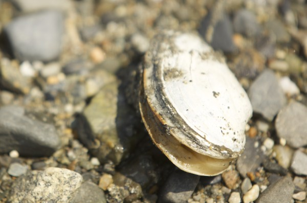 A clam rests on rocks after being dug up by Shelly Carlson of Manchester, Connecticut on Sears Island in Maine.