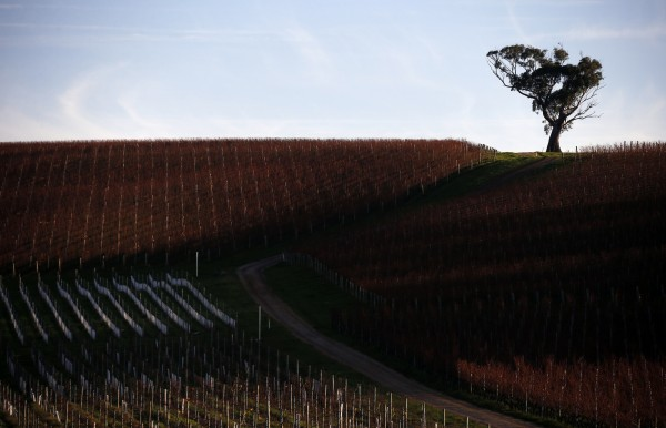 Rows of vines can be seen at sunset at Yalumba's Jansz estate in the Tamar Valley, located in the northeast of Tasmania on June 4. Australia's wine growing industry is responding to the rigors of climate change.