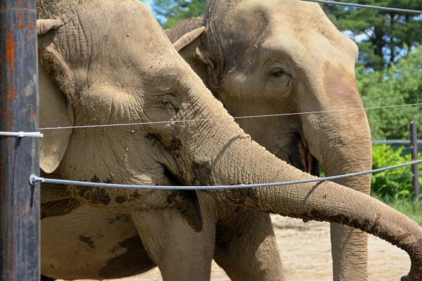 Hope elephants Rosie and Opal are the inspiration for The Children's Museum & Theatre of Maine's upcoming production of &quotThe Road to Hope: An Elephant's Story.&quot
