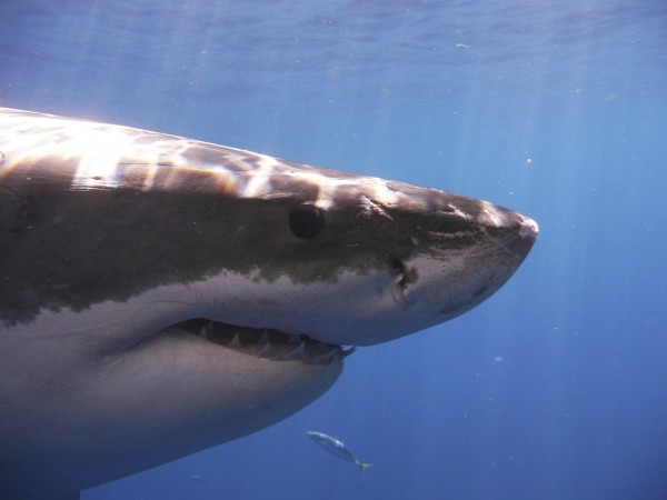 A great white shark is pictured in the eastern north part of the Pacific Ocean.