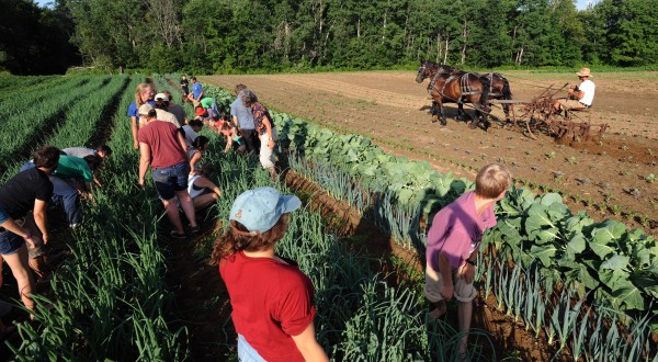 People weed onions while singing work songs as Seth Yentes, right, demonstrates cultivating with horses during the Workhorse and Worksong Hootenany at the North Branch Farm in Monroe Thursday.