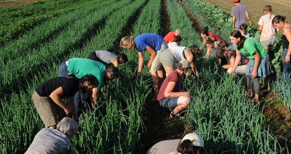 People weed onions while singing work songs during Workhorse and Worksong Hootenany at the North Branch Farm in Monroe.  Farm co-owner Elsie Gawler said that MOFGA approched them if they would host the workshop that drew over 60 people.