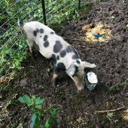 Woman encounters escaped pig in Oakland; police working to capture animal