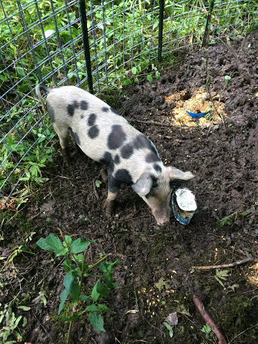 A runaway pig in Oakland, that managed to elude authorities for the better part of July, was captured Monday after it was baited into a specially built pen with corn and ice cream.