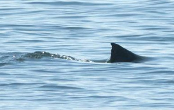 Passengers and crew on board a tour boat operating out of St. Andrews, New Brunswick, just across the Canadian border from Maine, spotted a great white shark in Passamaquoddy Bay on Monday.