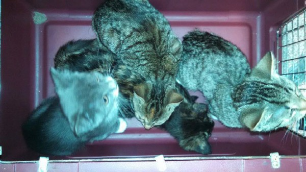 Some of the 13 cats found abandoned Friday night by Bangor Police Department.