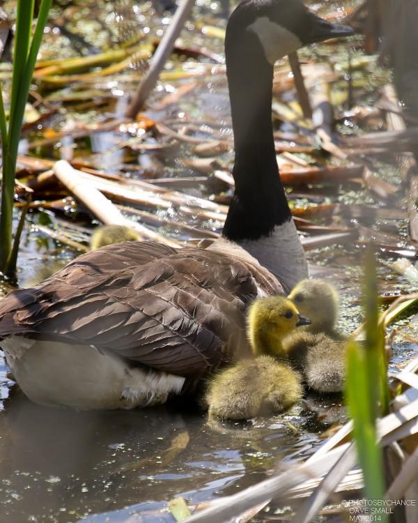Canada geese goslings.