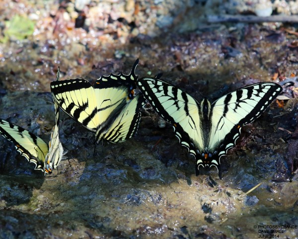 Canadian tiger swallowtails.