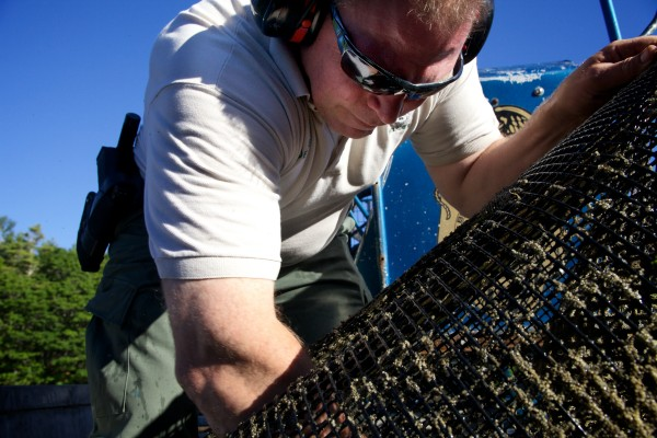 Brunswick Marine Resources Officer Dan Devereaux checks a trap designed to catch invasive green crabs in Buttermilk Cove on Friday morning. The traps are part of a study designed to figure out the best way to defend valuable clams from the voracious crustaceans.