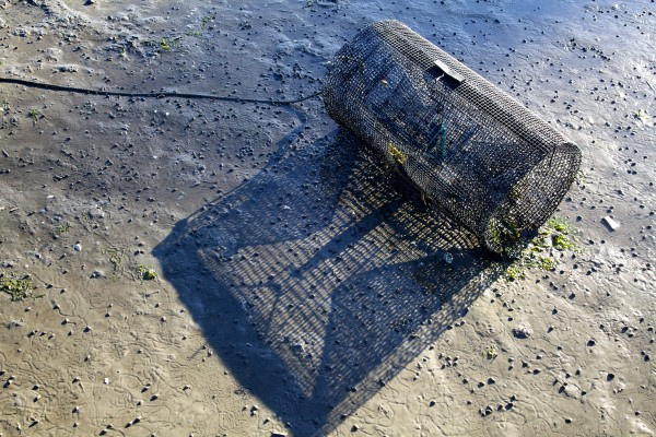 A trap designed to catch invasive green crabs sits in the mud in Brunswick's Buttermilk Cove on Friday morning. The traps, scattered throughout the mudflat, are part of a study designed to figure out the best way to defend valuable clams from the voracious crustaceans.