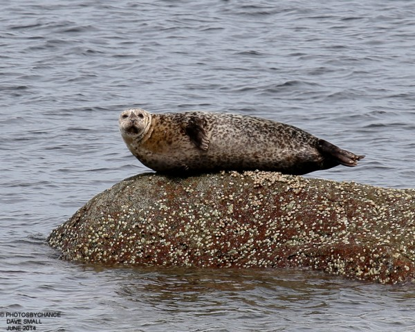 Harbor seal on a rock.