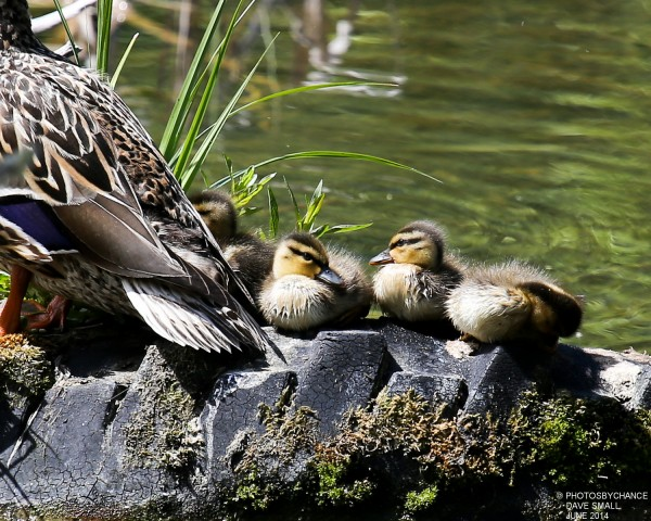 Mallard and brood