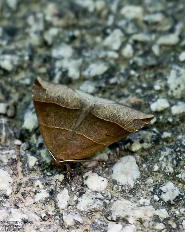 A moth that looks like leaf litter.