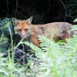 Relaxing red fox makes for fine photo fodder